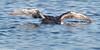 BLACK-THROATED DIVER Gavia arctica
