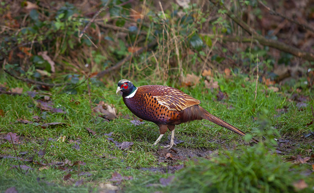 Sussex woodland Pheasant