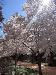 Sakura @ Duke Gardens