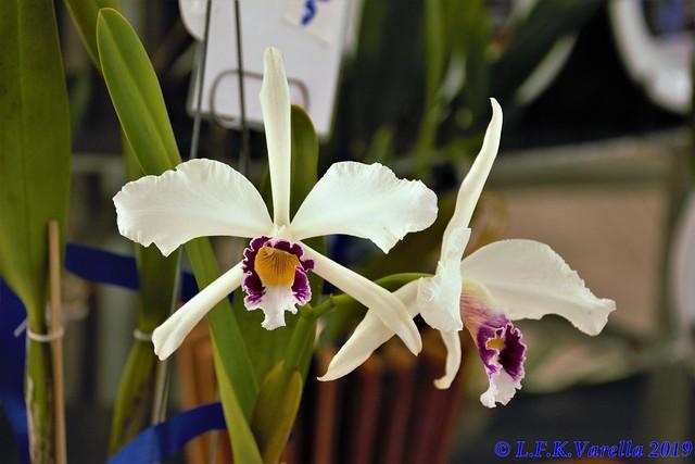 Laelia purpurata oculata - cultivo Carlos Griebeler