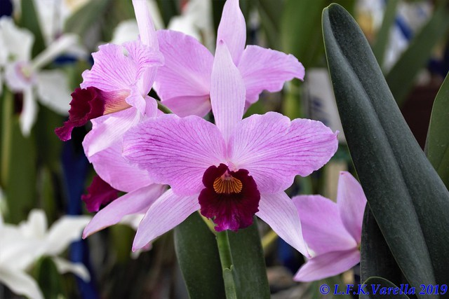 Laelia purpurata venosa - cultivo Francico Ferreira foto 3