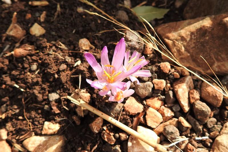 Безвременник Стевена (Colchicum stevenii)