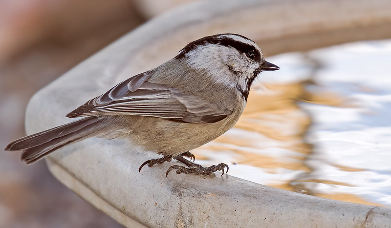 Mountain-Chickadee-60-7D2-100119