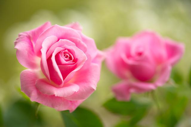 rose 1473