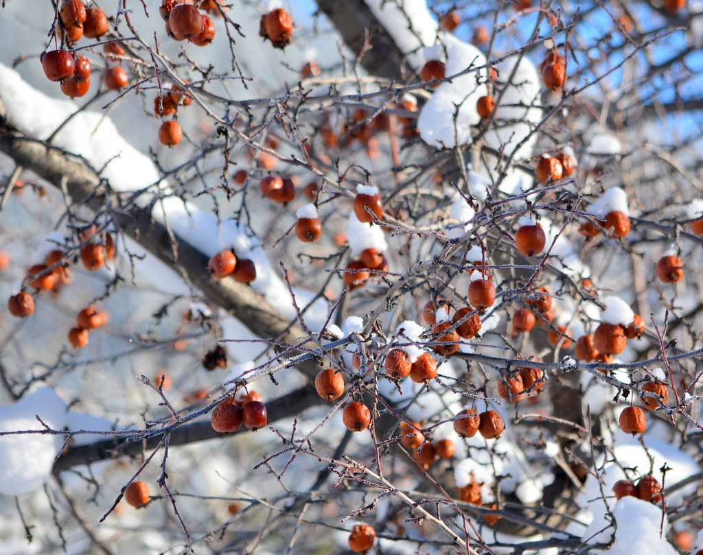 THESE RED APPLES ARE SMALL, MAYBE CRAB APPLES.  THEY ATTRACT CEDAR WAXWING IN THE WINTER AND BEARS IN THE AUTUMN.  PROBABLY MAKES GOOD JAM.  COALMONT,  BC.