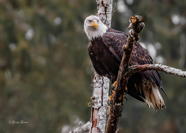 Bald Eagle - Nanaimo River
