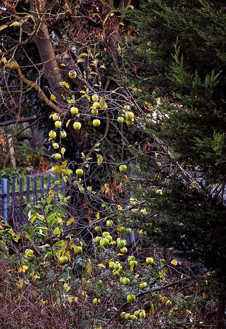 Apples in December