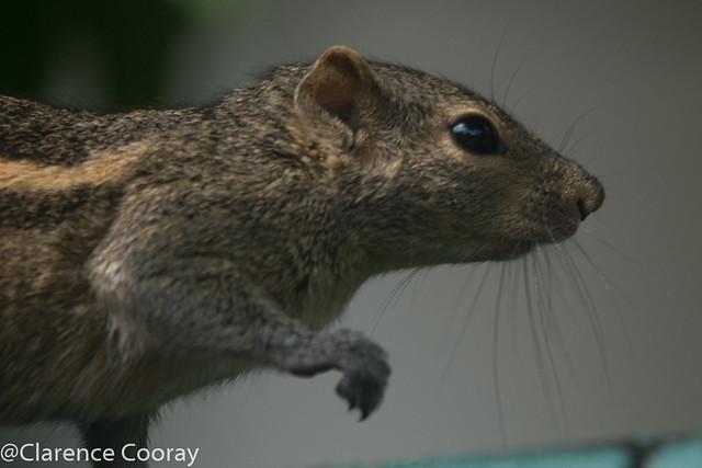 DSC_3339 (Indian Palm Squirrel)