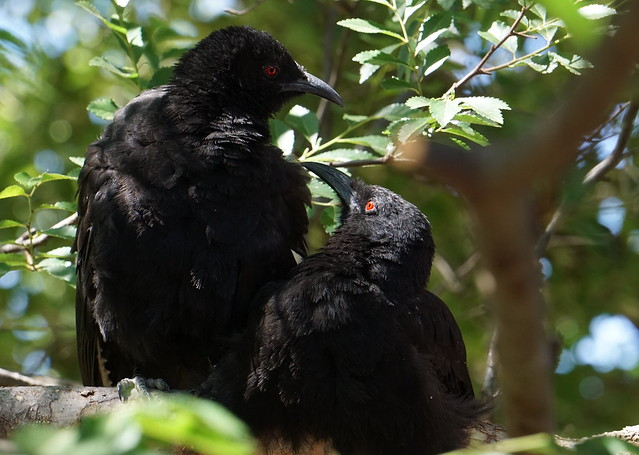 back to our tree for a preen, part of the extended Chough family we feed and entertain daily.