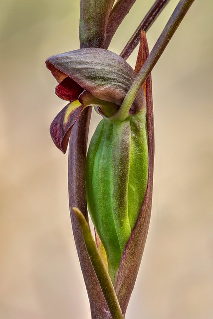 Close-up of Horned Orchid or Bird's Mouth Orchid (Orthoceras strictum) - native to eastern & southern Australia