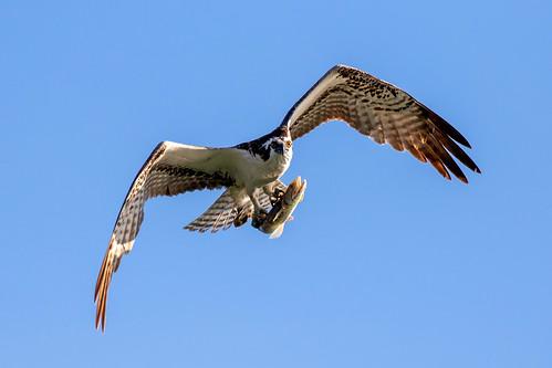 outdoor dennis adair nature wildlife 7dm2 7d ii ef100400mm ocean canon florida bird flight fish