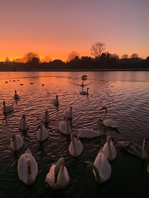 Swan song sunset