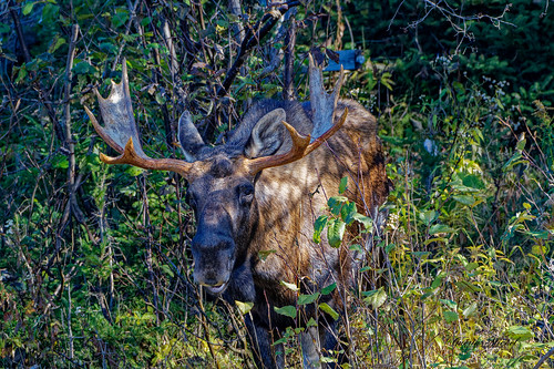 Orignal -  Moose -  Alces