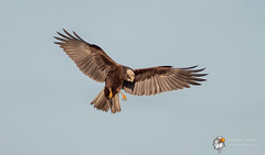 Marsh Harrier  (由  Simon Stobart