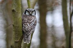 Northern Hawk Owl (Høgeugle), Hessede Skov