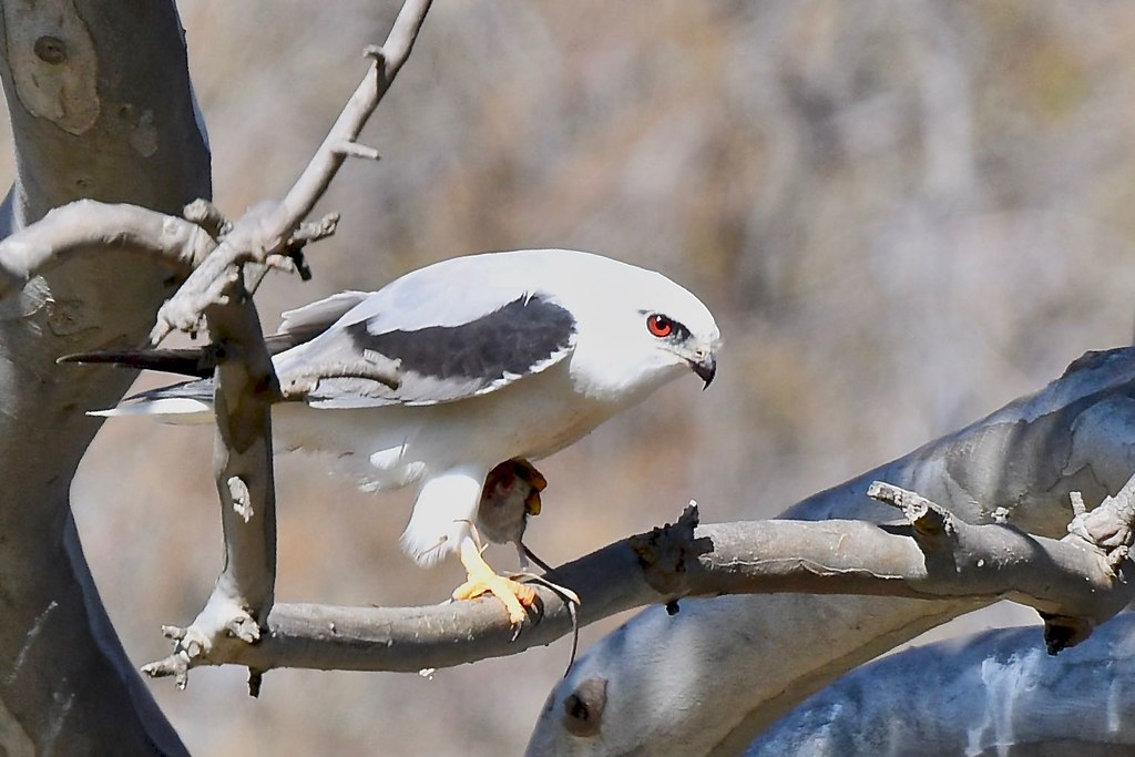 Black -shouldered Kite ( meal time )