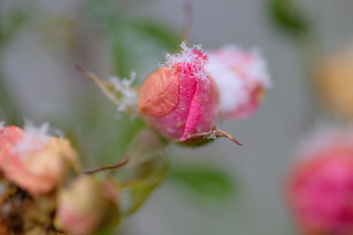 Snowflakes on a rose