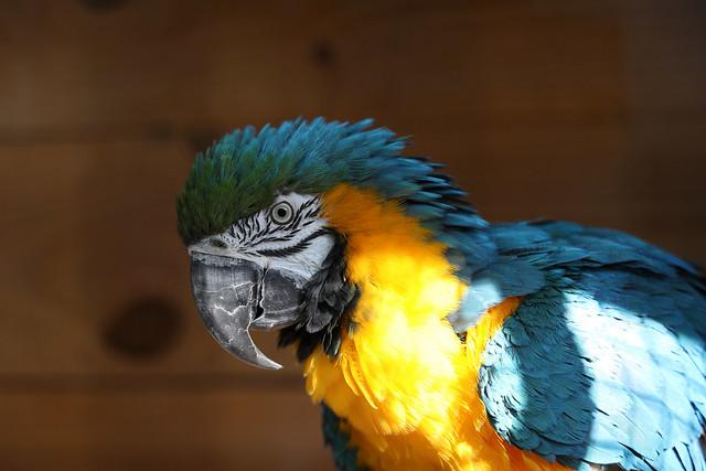 Ara Ararauna / Blue-and-yellow (blue-and-gold ) macaw. Jardín del Papagayo. Benicarló. Spain.  AA8A6099