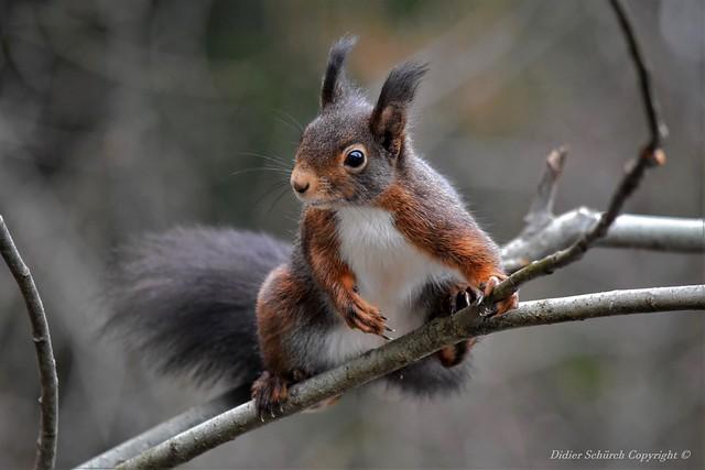 Écureuil roux (Sciurus vulgaris) (288)