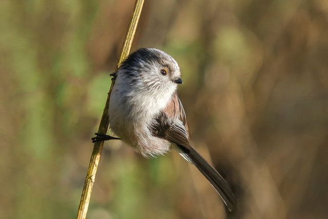Long Tailed Tit........