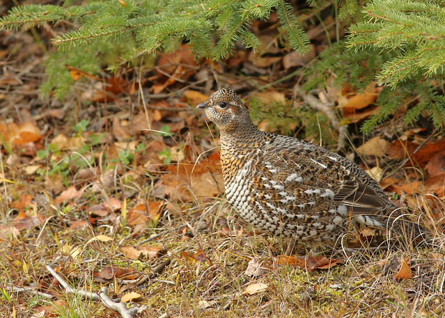 Ruffed Grouse...#18