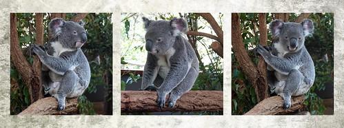 koala triptych animal animals tier tiere nature natur brisbane lonepinekoalasanctuary australia marsupial 016710 rx100m6