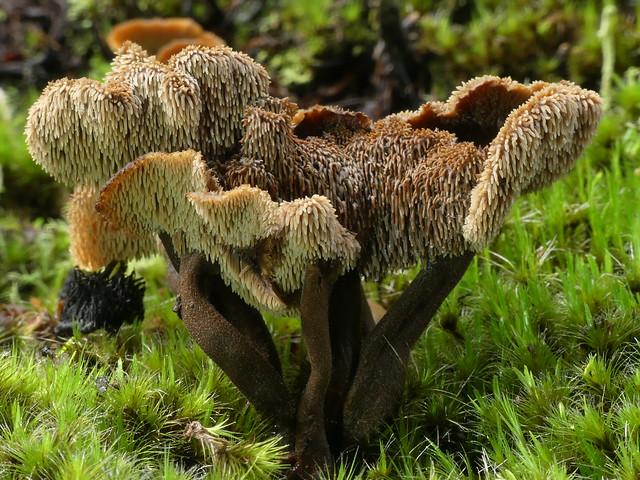 Auriscalpium umbella