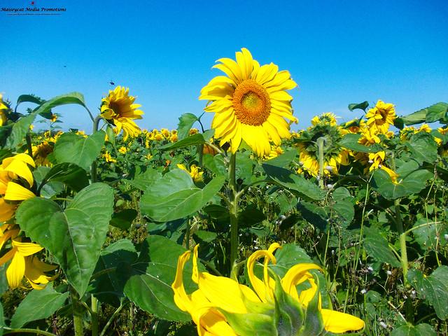 Last of the Sunflowers.jpg