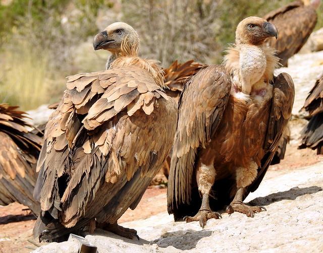 Griffon Vultures At A Carcass Near The Small Village Santa Cilia De Panzano In The Spanish Pyreneese