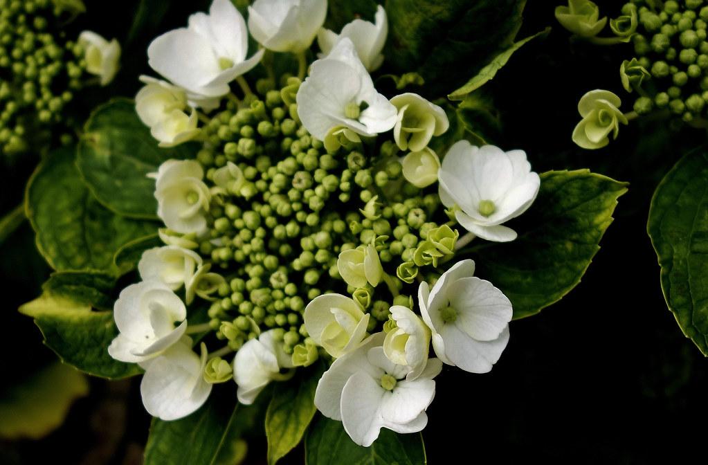 Blumen, Blüten, blossoms and flowers (serie) , Edel-Hortensie, 76852/12169
