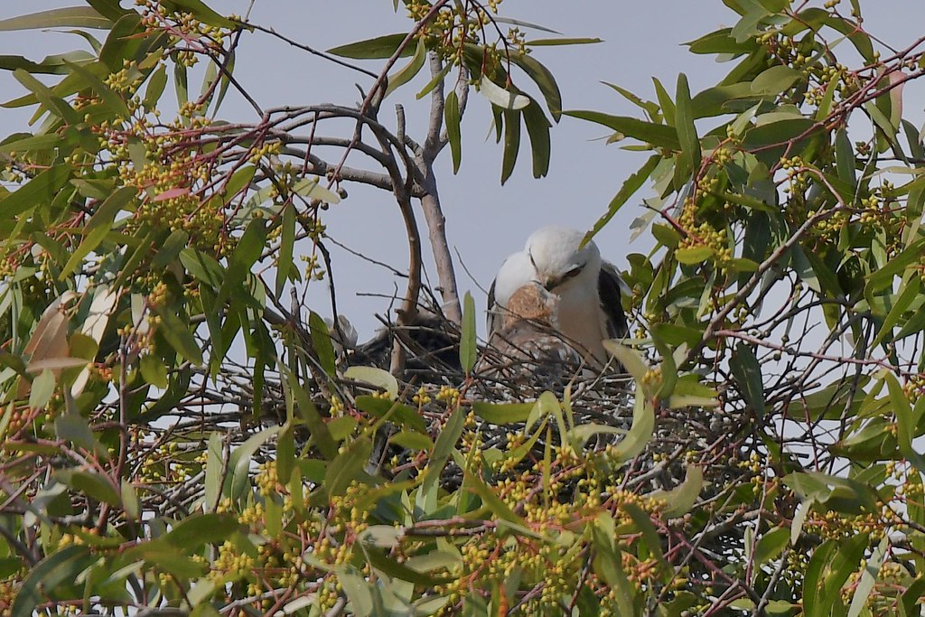 Black - shouldered Kite ( mum feeding the young )