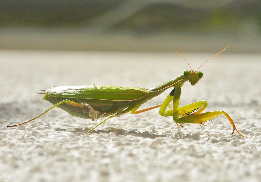 who are you ?  praying mantis 2019