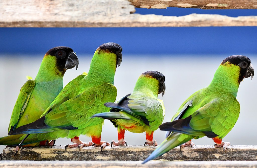 Nanday Parakeets in the Pantanal region of Brazil.