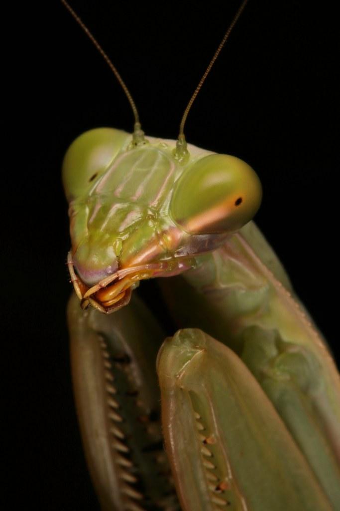 Giant Asian Mantis, female (Hierodula sp., Mantidae)