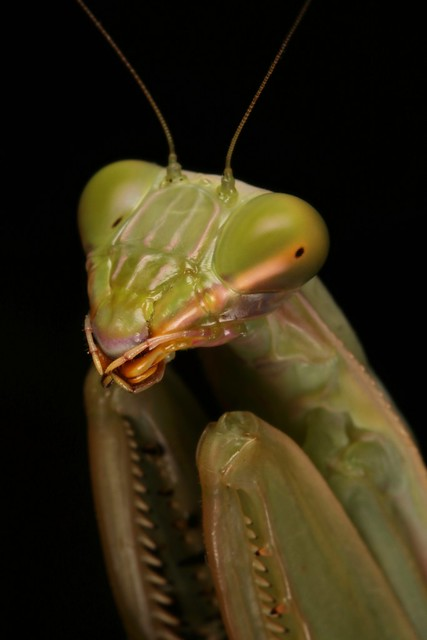 Giant Asian Mantis, female (Hierodula sp., Mantidae)