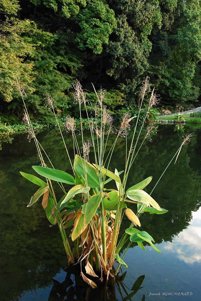 Plante d'eau