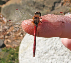 5th Day of Christmas Dragonflies:  a fresh December meadowhawk!