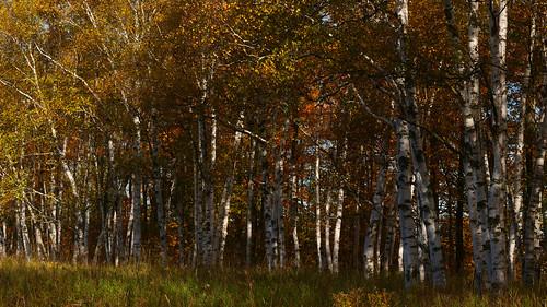 paperbirch whitebirch oldfield landscape dufferincounty ontario canada
