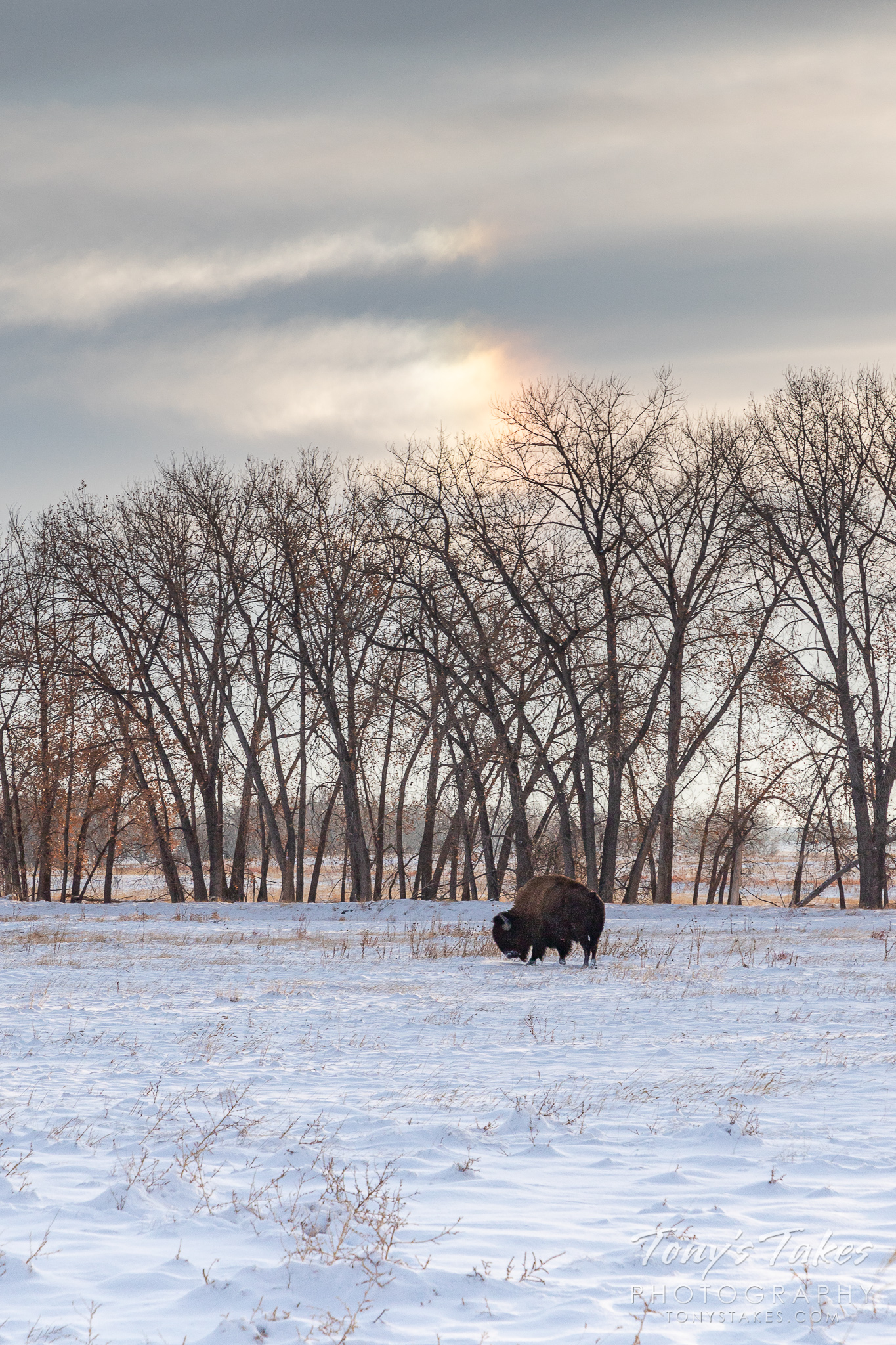 Bison bull grazes under an iridescent sky