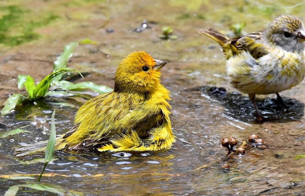 Bathtime for some Saffron Finches - the Pantanal Wetlands, Brazil.