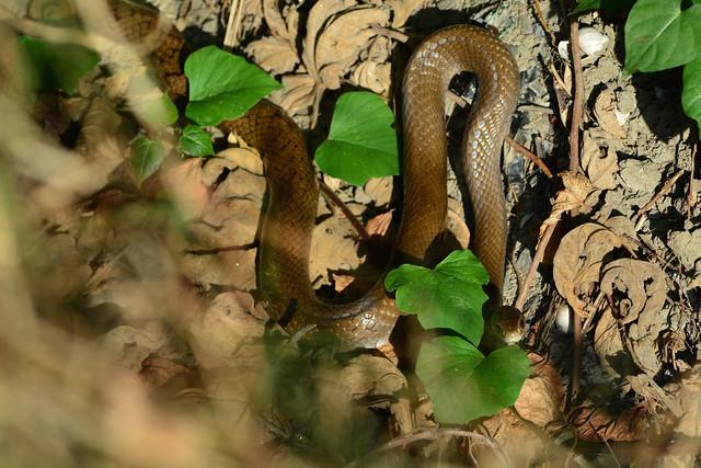 Dhaman Rat Snake Assessing My Threat