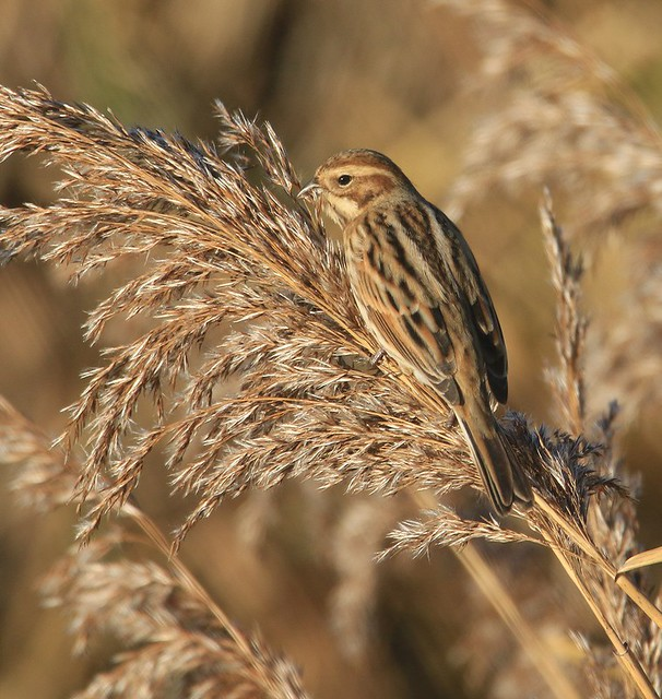 Female Reed Bunting II - from the Zeiss Hide