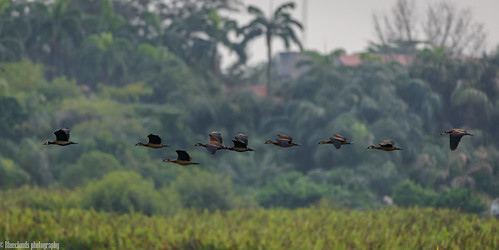 ducks whistling whitefaced birds nikon birdsinflight d800 200500 f56