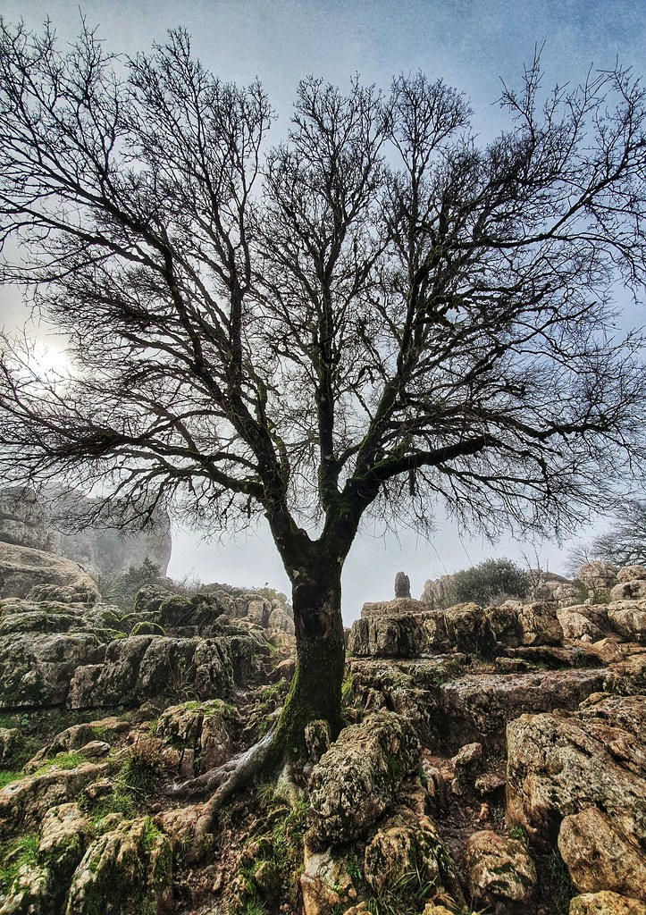 A maple tree raising up from the stones, 9 meters high. In the photos, as it is november, the tree has no leaves.