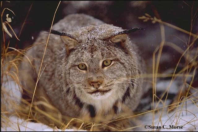 Male Canada Lynx