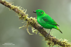 Glistening-green-Tanager_5D49067