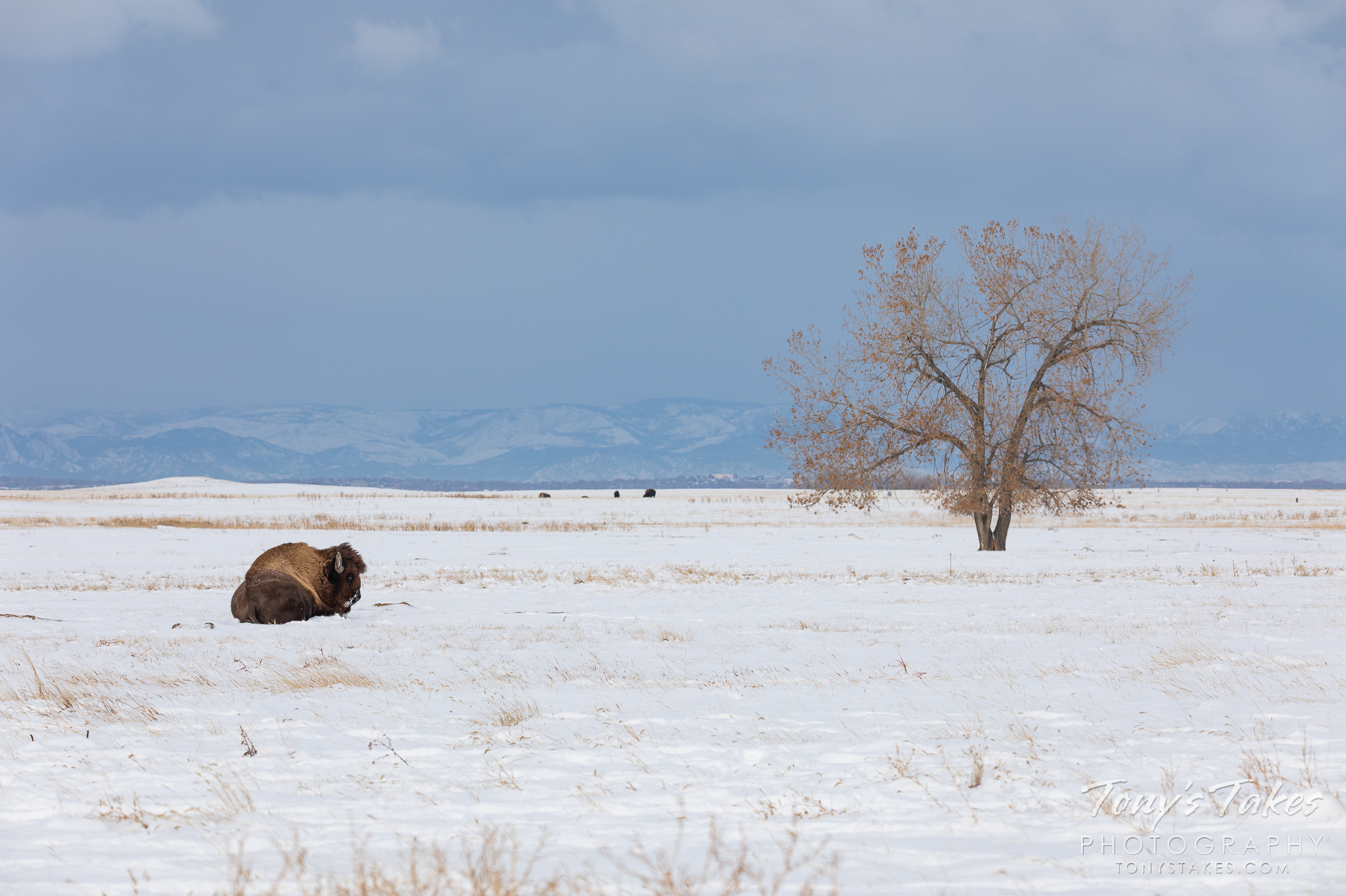 A bison bull lies on the snow-covered plains. (© Tony's Takes)
