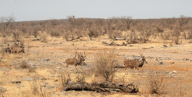 Namibia:  Kudu approaching waterhole in Etosha