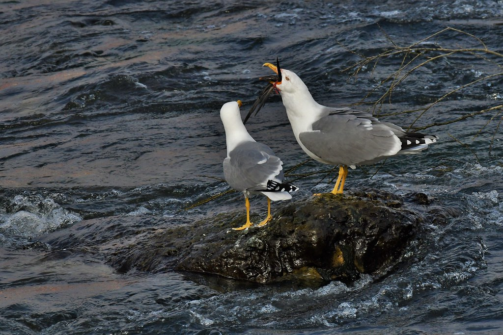 Goélands leucophées - Larus michahellis - Yellow-legged gulls