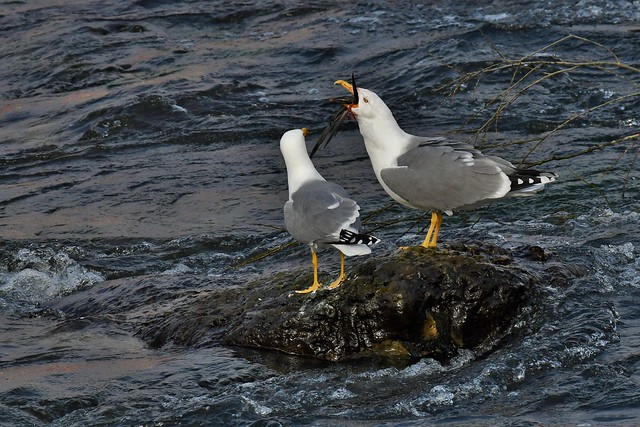 Goélands leucophées - Larus michahellis - Yellow-legged gulls